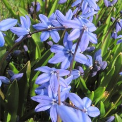 Blue Siberian Squill