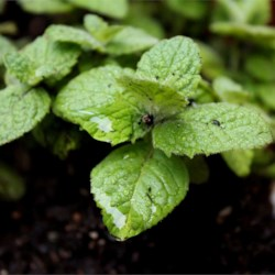 Apple Mint, I've never heard of such thing until now