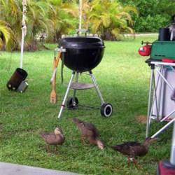 Ducks in the camp kitchen
