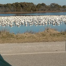 snow geese on the refuge