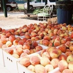 Peaches in Aberdeen, NC