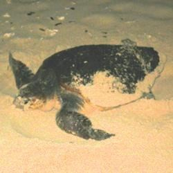 This new mother will soon leave a new generation behind on our beach!