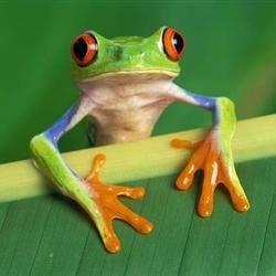 I am a tree frog.