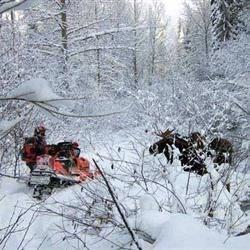 Bull moose drinking from creek