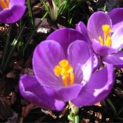 Crocus - Welcome Spring!