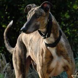 Adopt a Greyhound!!  Greyhound Pets of America!!