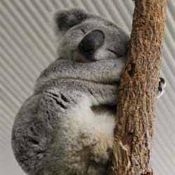 Koala Sue