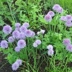 Chives and oregano making nice together.