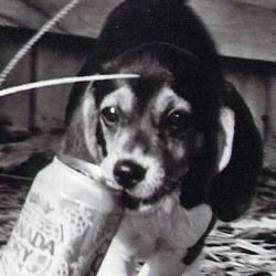 Sweet Beagle
