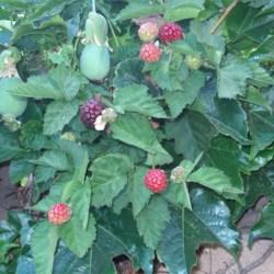 Boysenberries & Passion Fruit