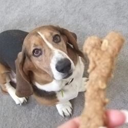 Peanut Butter Dog Biscuits Recipe - A great, crunchy all-natural treat for our furry four-legged friends. If you don't have spelt flour, you can use all whole wheat.