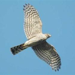 a small hawk