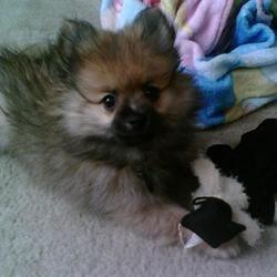 my puppy, Giacomo Casanova