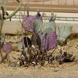 Cactus, Tucson AZ