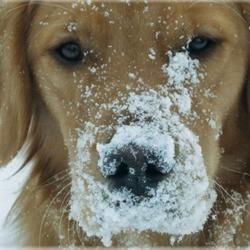 Snowy Golden