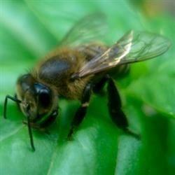 Bee on my Basil
