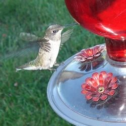 My Pet Hummingbird, Gracie!