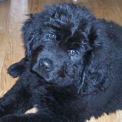 My Newfoundland as a Puppy!