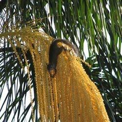 Squirrel Feeding from Palm Tree
