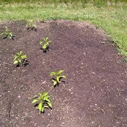 Sweet Italian Peppers and gold & striped beet seeds in the dirt