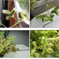 mystery herb