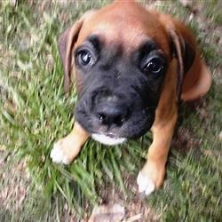 Shadow, my Boxer Puppy