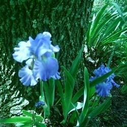 My beautiful Iris!