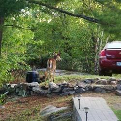 Garden Pillaging Bambi