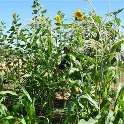 corn and sunflowers