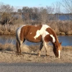 Chincoteague Wild Pony