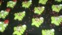 More pictures of Spritz Cookies III