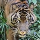 Tiger Didi