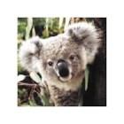 koala red