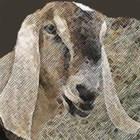 Gourmet Goat