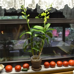 Homegrown tomatoes in my windowsill