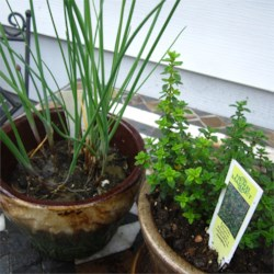Chives and Lemon Thyme