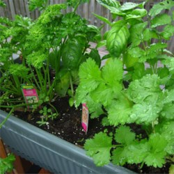 Curly Parsley, Basil and Cilantro
