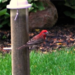 as far as I can tell this is a purple finch