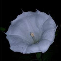 Moonflower 062813