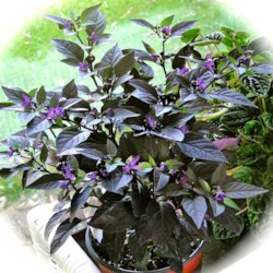 """Purple Flash"" Ornamental Pepper"