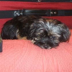 40th B-day present from my husband - a Shorkie pup named Maddie