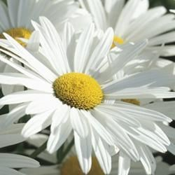 . . . because daisies are my favorite flower
