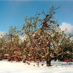 Kingsley Orchard, Otisco, NY
