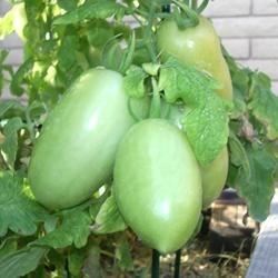 My Romas just started to rippen!