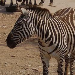 Zebra at the Abilene Zoo
