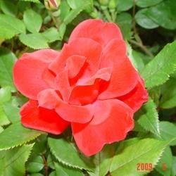 Yay! Spring has finally sprung. My rose bush says so!