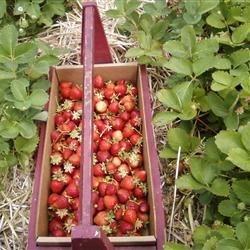 Pickin Strawberries