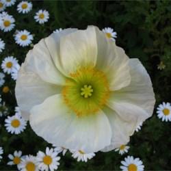 Cali-flower