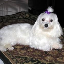 Princess the Maltese