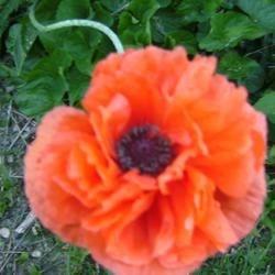 My Garden Poppy